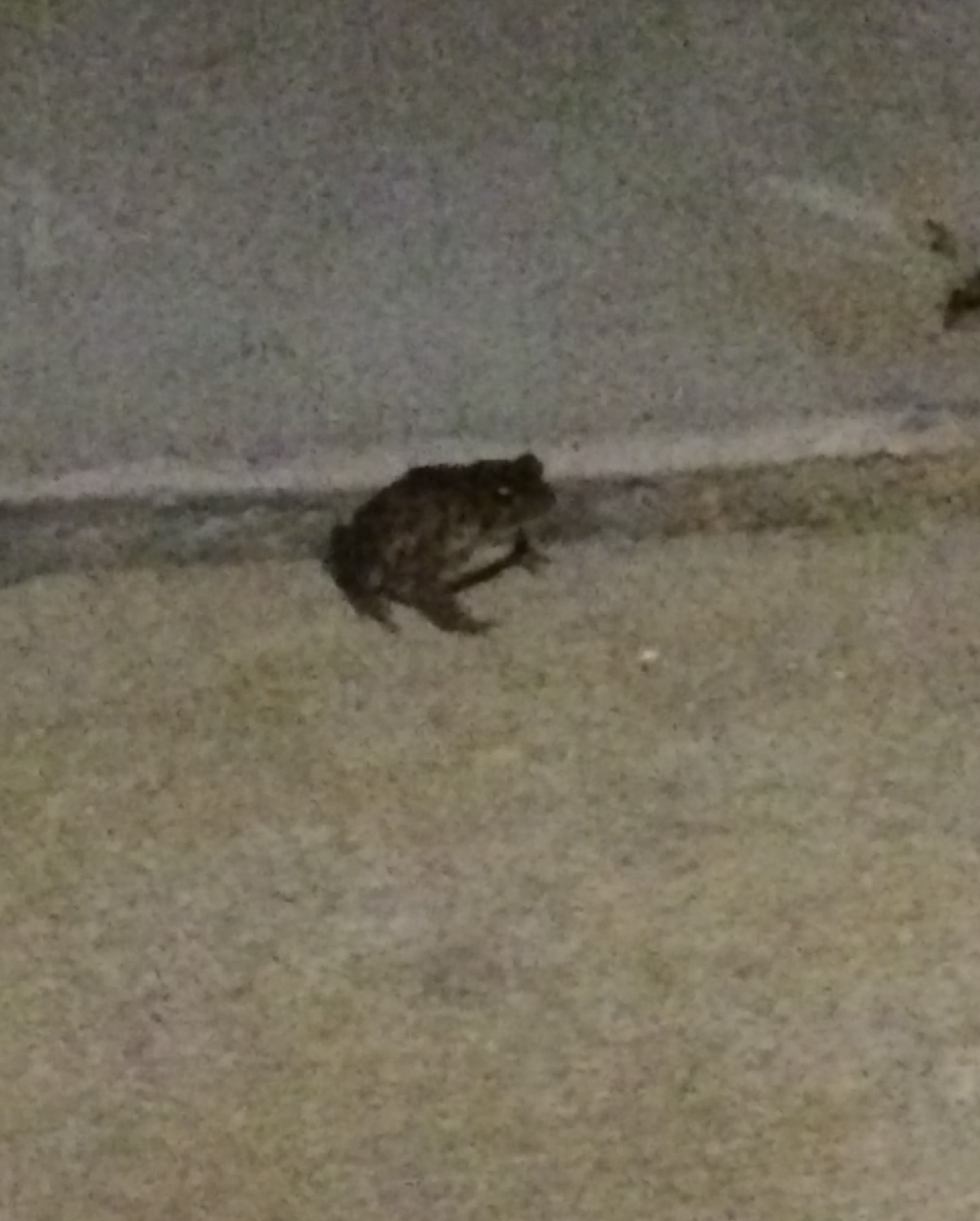 Super grainy photo I know, but this frog was right by my car on the sidewalk on Monday night.